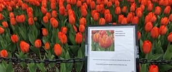 Oranje tulpenbed op de rotonde uit vriendschap met Albany NY. - Orange_Balloon_tulp
