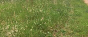 Ecologisch grasbeheer in Grootstal - ruwgras_3